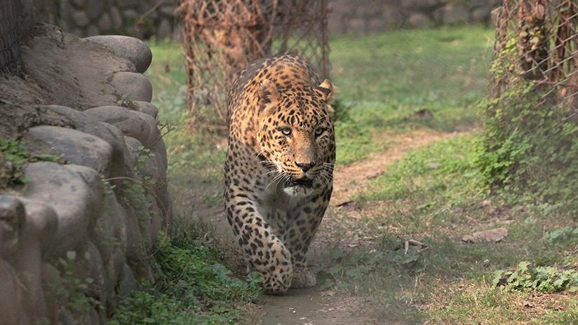 VIDEO: Un leopardo se acerca sigilosamente a un perro que duerme delante de su casa y se abalanza sobre él