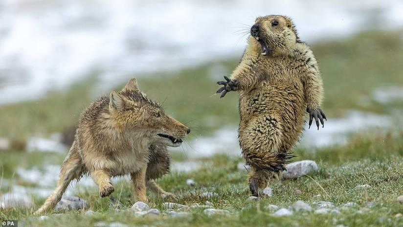 ¡No me toques!: Una marmota sorprendida por un zorro, mejor foto de fauna salvaje 2019 (FOTOS)