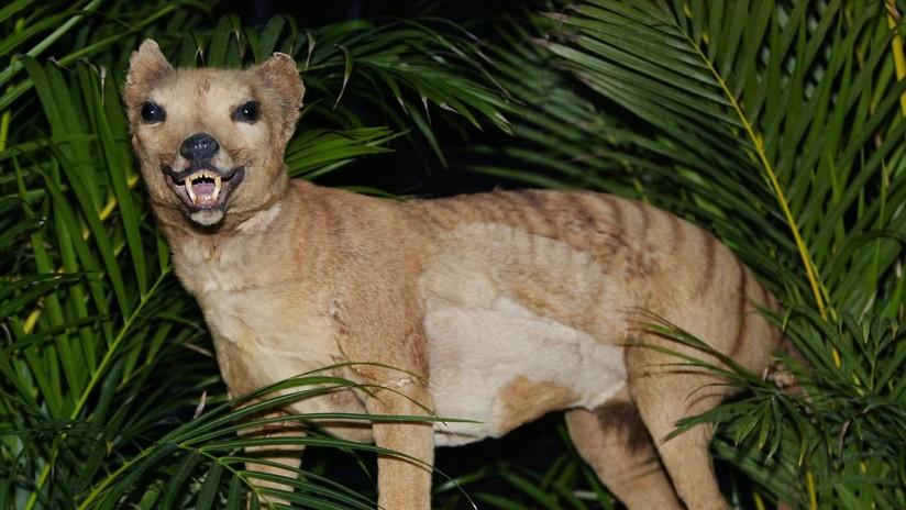 ¿El tigre de Tasmania regresa de la extinción? Surgen ocho avisos de la 'aparición' del animal