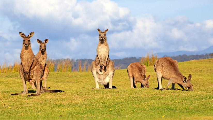Los canguros en Australia intentan sobrevivir la sequía comiéndose a otros canguros muertos