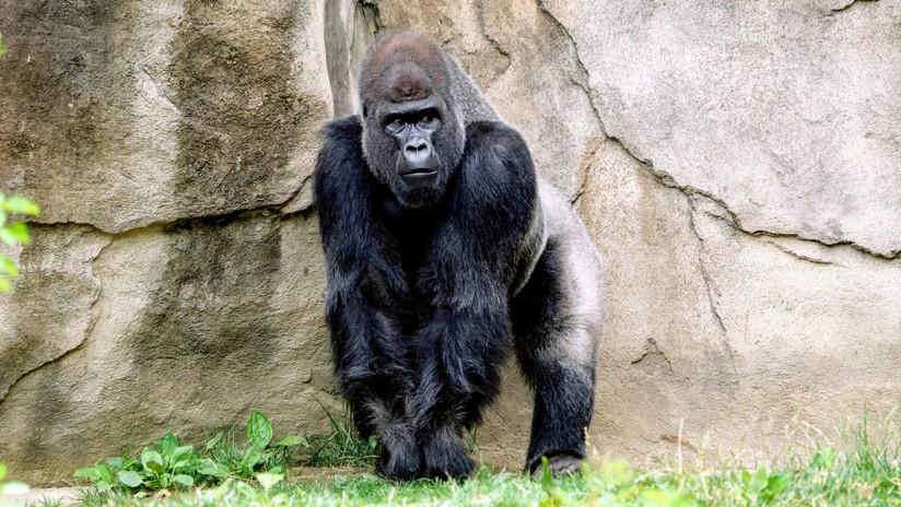 Científicos recrean la secuencia genética de la malaria y revelan cómo pasó de los gorilas a los humanos