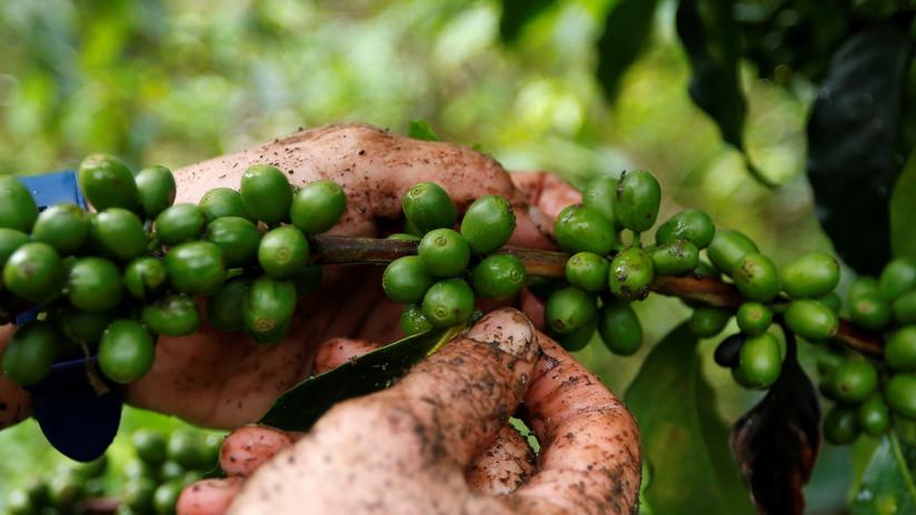 """""""Espíritu de paz"""": el café producido en Colombia por excombatientes de las FARC recibe un premio internacional"""