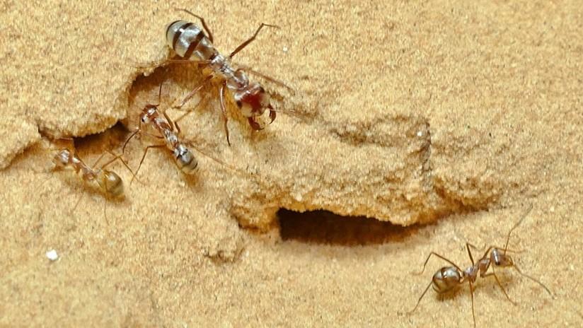 Identifican a la hormiga más rápida del mundo en el norte del Sahara