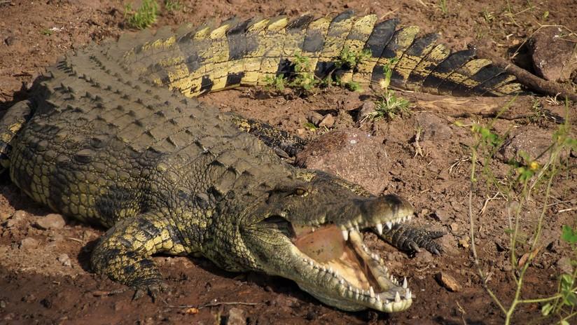 Un leopardo y un cocodrilo chocan 'a cara de perro' por una presa (VIDEO)