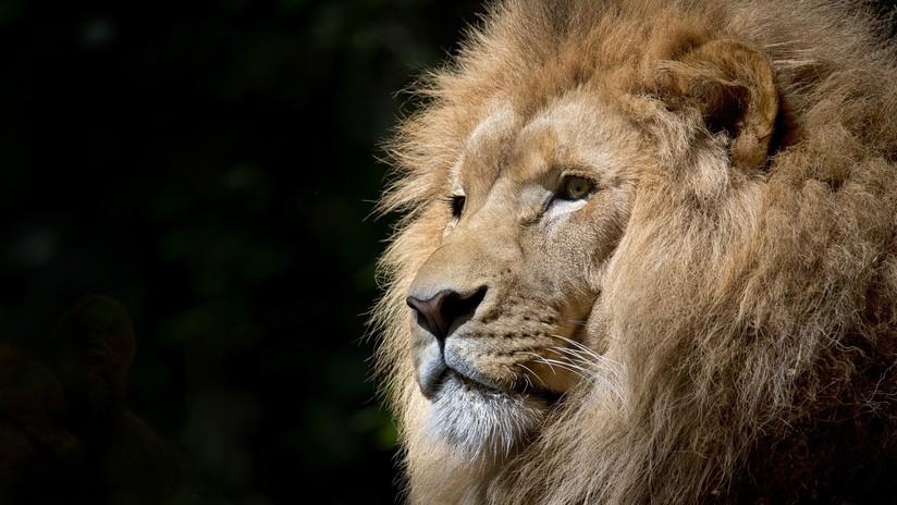 VIDEO: Pasa un minuto al lado de un león como si nada en un zoo de India