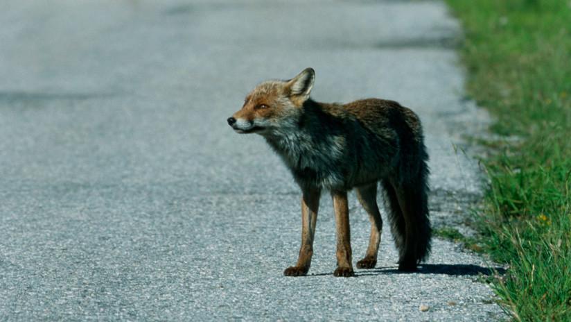 VIDEO: Un zorro sale a la pista de aterrizaje momentos antes del despegue de un Boeing