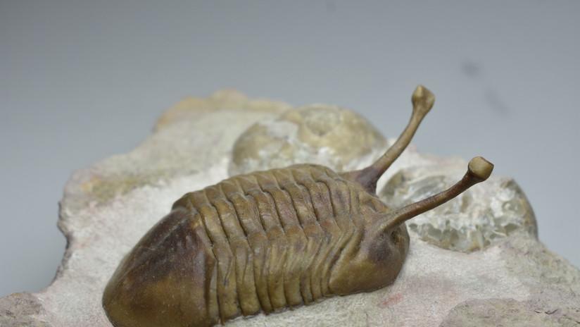 Científicos explican por qué unos artrópodos de hace 480 millones de años se movían en fila india