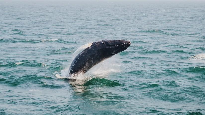 Varias ballenas 'enloquecen' tras un sismo en California (FOTOS)