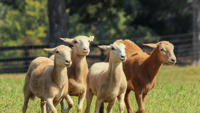 Esquilan 3.500 ovejas por el calor en Argentina, baja la temperatura y mueren de hipotermia