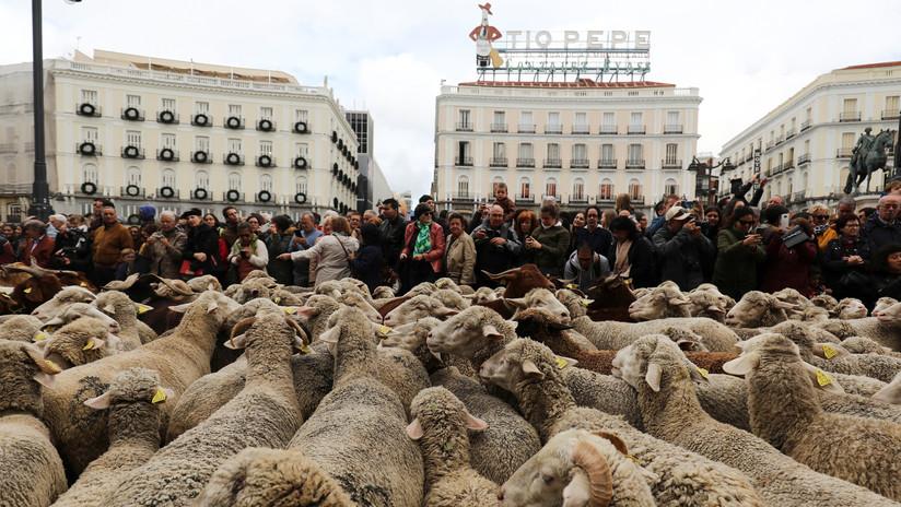 VIDEOS: Un 'río' de ovejas atraviesa el corazón de Madrid