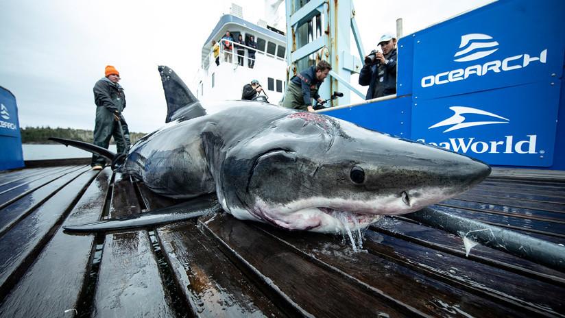 FOTO: Captan un tiburón blanco con la cabeza entera mordida por otro animal mucho más grande