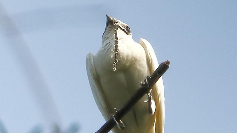 El pájaro más ruidoso del mundo vive en América del Sur