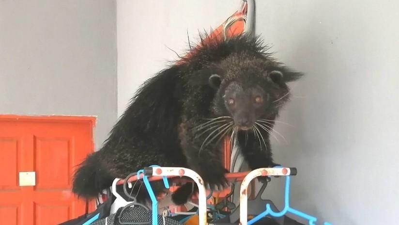 FOTOS, VIDEO: Avistan un inusual animal que parece a la vez gato y oso y lo atrapan tentándolo con bananas
