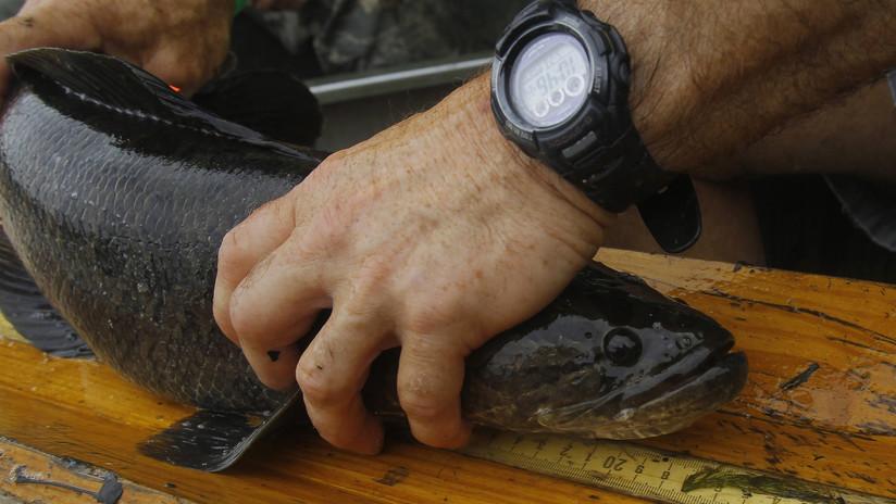 Descubren por qué salen del agua los peces carnívoros capaces de sobrevivir en tierra que 'invadieron' EE.UU.