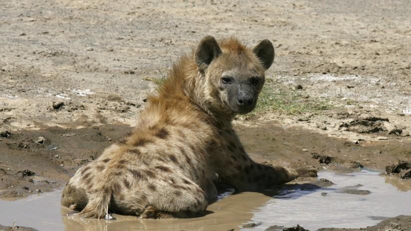 VIDEO: Una hiena salva a un jabalí de ser devorado por un leopardo