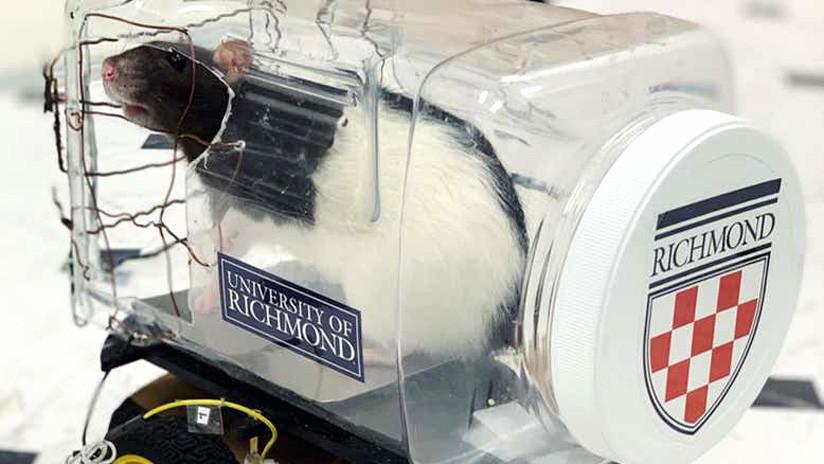 VIDEO: Científicos enseñan a ratones a conducir y aparcar 'automóviles'