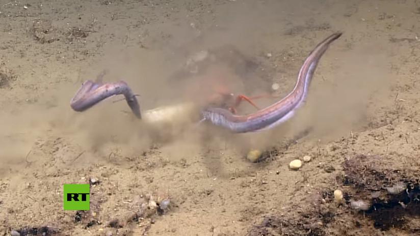 VIDEO: Cangrejo lucha por su comida en una feroz batalla contra dos anguilas