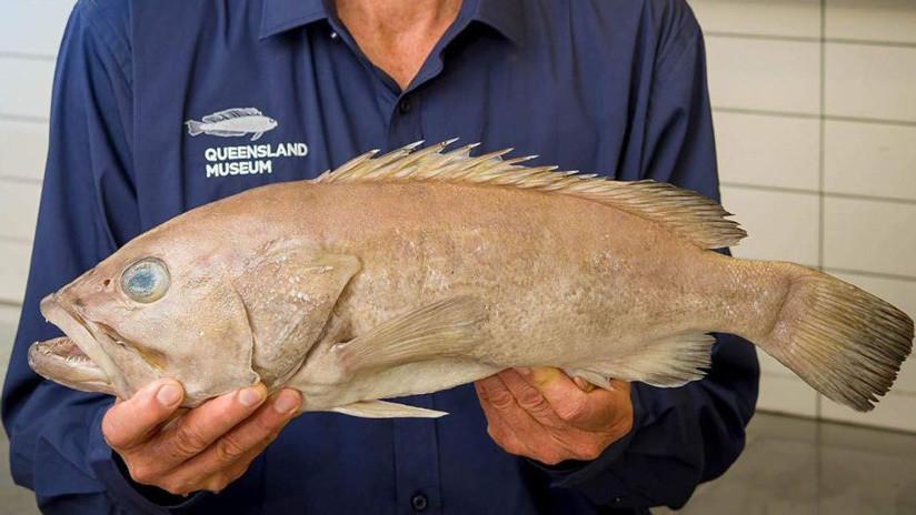 En Australia llevan años comiendo un pescado que la ciencia desconocía