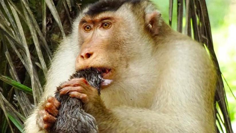 Descubren que unos monos que se alimentan de ratas son una forma efectiva en el control de plagas