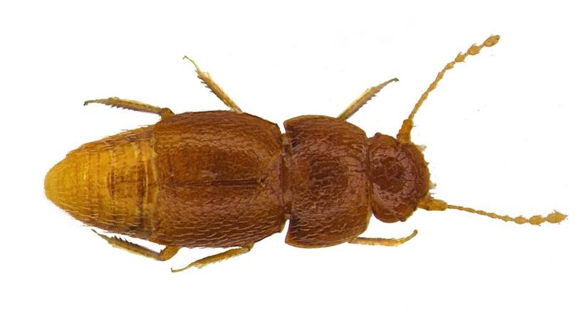 FOTO: Una nueva especie de insectos recibe nombre en homenaje a Greta Thunberg