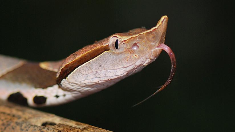 Se amputa un dedo tras ser mordido por una serpiente venenosa (y los médicos le dicen que fue en vano)