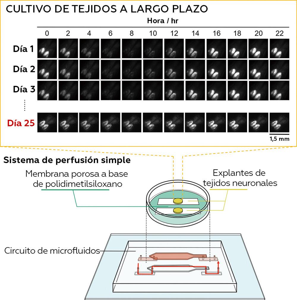 5da0a18959bf5b055a708355 Científicos logran mantener vivos durante semanas unos cerebros extraídos de ratones