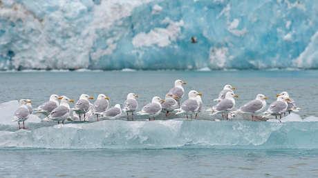 Gaviotas de pie sobre un iceberg en el Océano Ártico.
