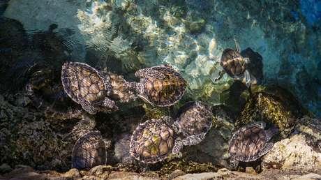 Una especie de tortugas podría quedarse sin machos a causa del calentamiento global