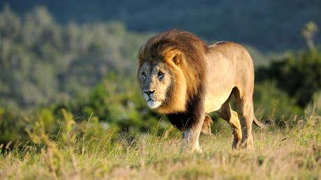 Envenenan y descuartizan a una familia de leones en Sudáfrica para usarlos en rituales de magia negra