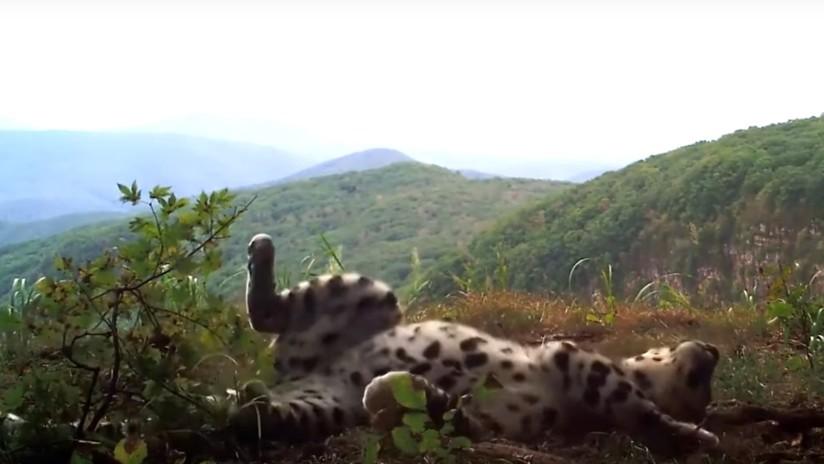 VIDEO: Graban a un raro leopardo jugando como un gatito doméstico en el Lejano Oriente ruso