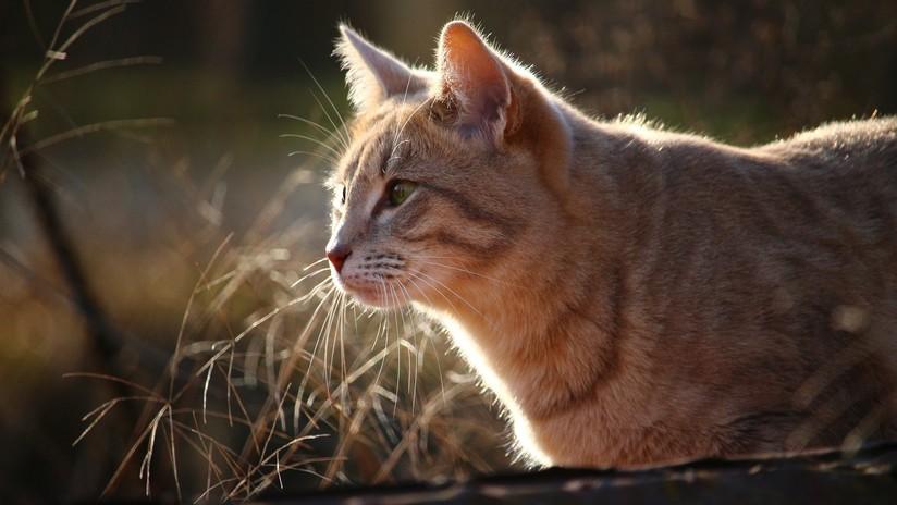 Contrae una bacteria que come carne y sufre dos ataques cardíacos por un arañazo de su gato