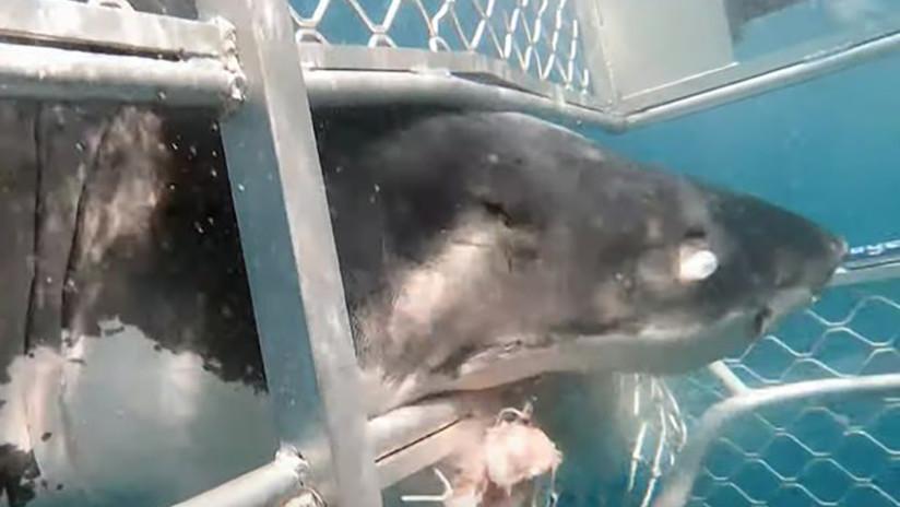 VIDEO: Un gran tiburón blanco impacta contra una jaula con buzos dentro