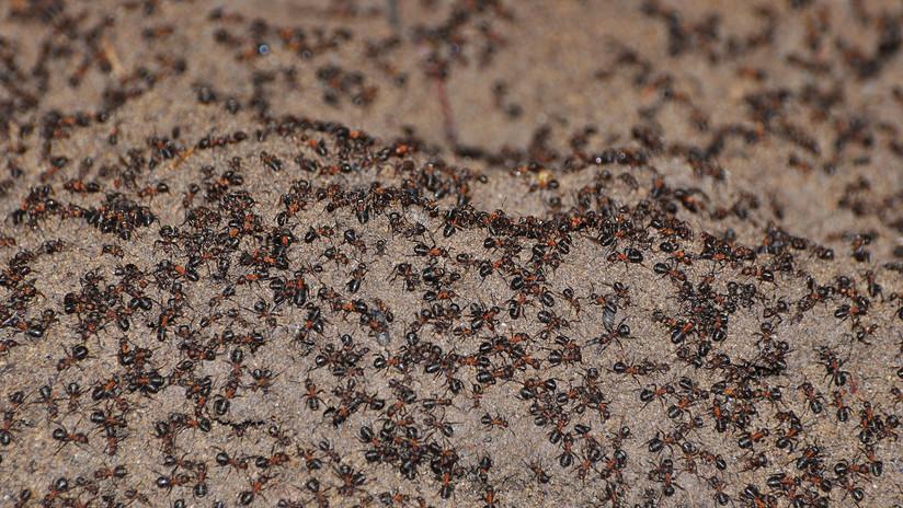 Un millón de hormigas caníbales salen a la superficie tras pasar años encerradas en un búnker nuclear soviético (FOTOS)