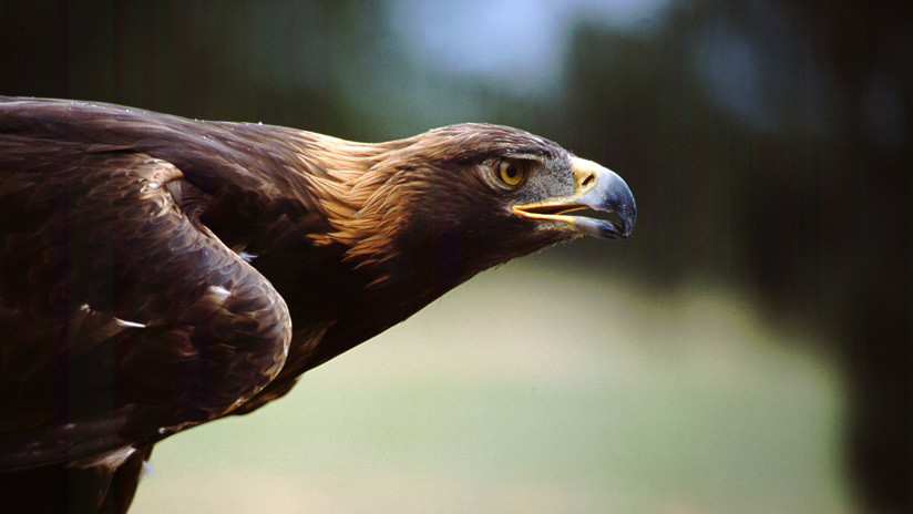 VIDEO: Un dron graba 'en primera persona' el feroz ataque de un águila que le clava sus garras en pleno vuelo