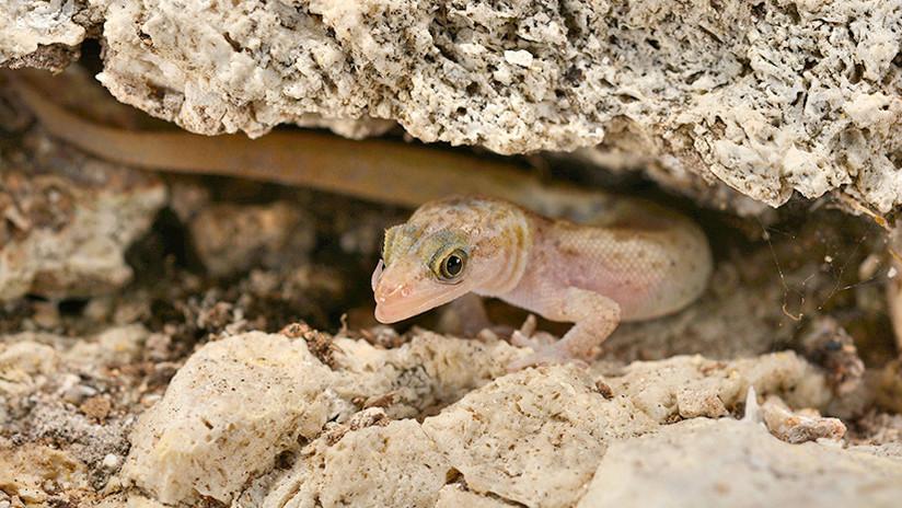 Logran salvar de la extinción a una especie de reptiles única endémica de Puerto Rico