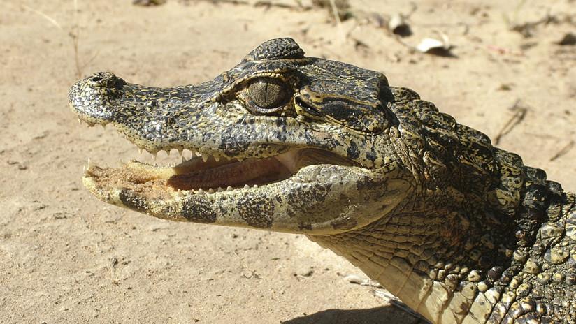 Visita de pesadilla: un indio encuentra un cocodrilo en el baño de su casa en plena noche