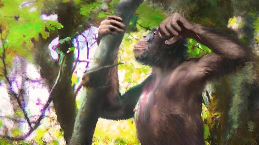 FOTOS: Descubren un primate con 'piernas humanas' capaz de caminar sobre dos patas que vivió hace 11,6 millones de años