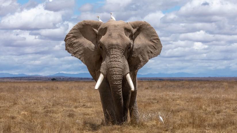 """""""Ellos irán a donde quieran"""": un elefante cruza una cerca eléctrica tras derribar uno de sus postes (VIDEO)"""