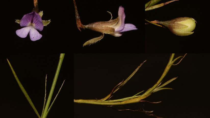 FOTOS: Redescubren por casualidad un arbusto al que se creyó extinto por más de 200 años