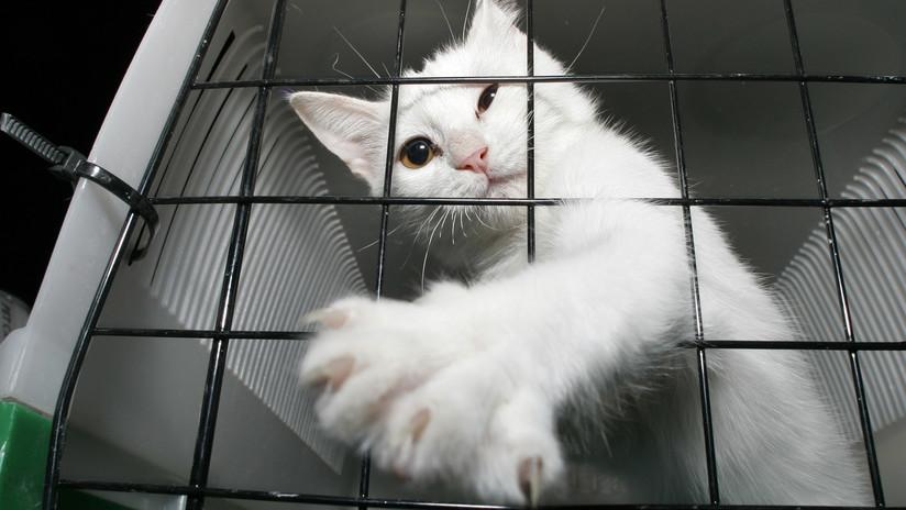 El ingenioso plan de un hombre al que una aerolínea le prohibió viajar con su gato en cabina por estar muy gordo