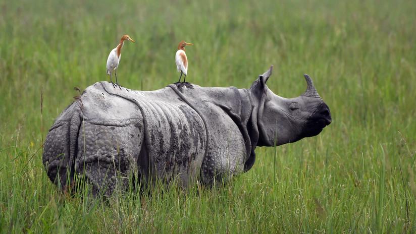 Elaboran cuernos de rinoceronte hechos con pelo de caballo para frenar su extinción