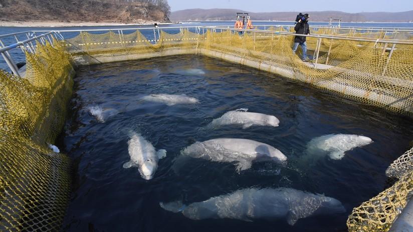 Liberan a todas las belugas y orcas de la polémica 'cárcel de ballenas' en el Lejano Oriente ruso
