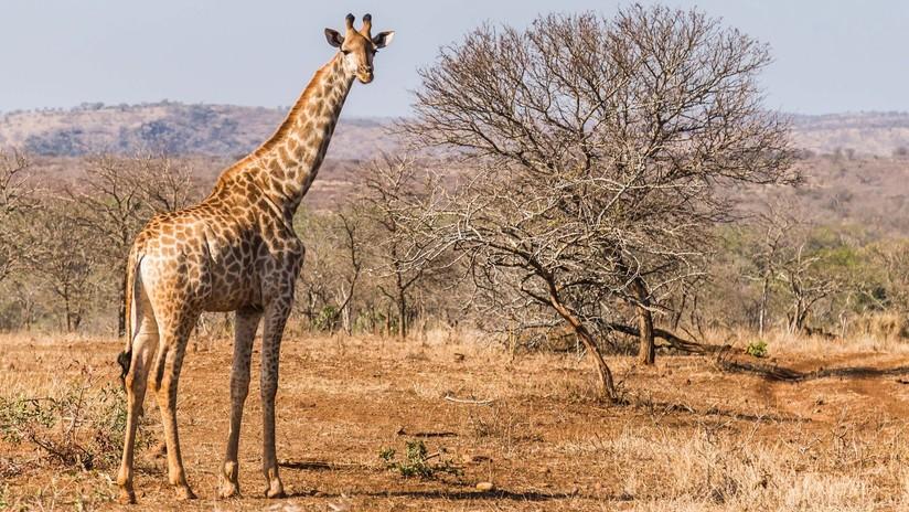 Un turista resulta gravemente herido al ser aplastado por una jirafa en un safari en África