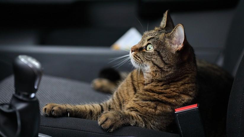 VIDEO: Olvida cerrar la ventanilla de su coche, lo encuentra ocupado por gatos y se desata el caos