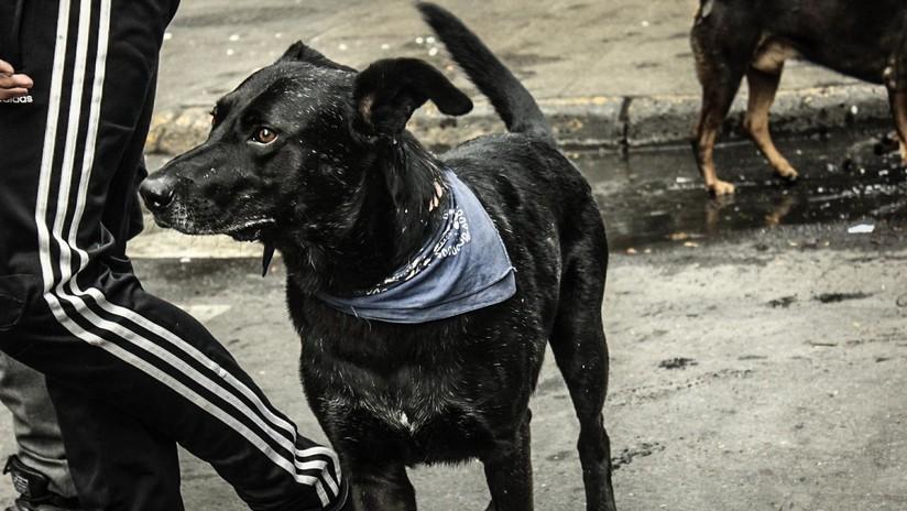 El perro chileno que peleó contra los carabineros en 2011 y ahora volvió como símbolo de la lucha