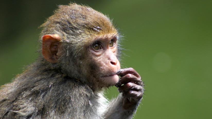 Mono utiliza celular de su cuidadora para comprar por Internet — Insólito