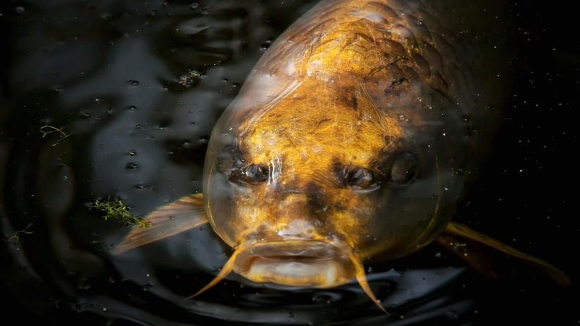 VIDEO: Captan un pez con 'rostro humano' en China