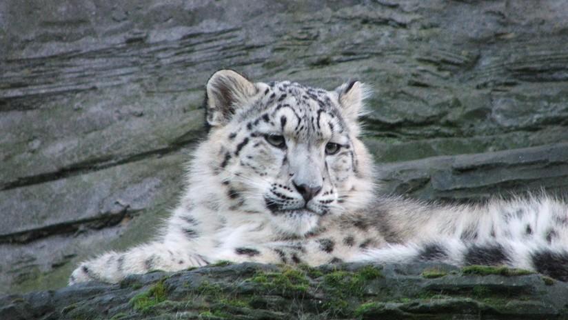 El arte de camuflaje: ¿Puede encontrar a las cuatro crías de leopardo de las nieves? (FOTO)