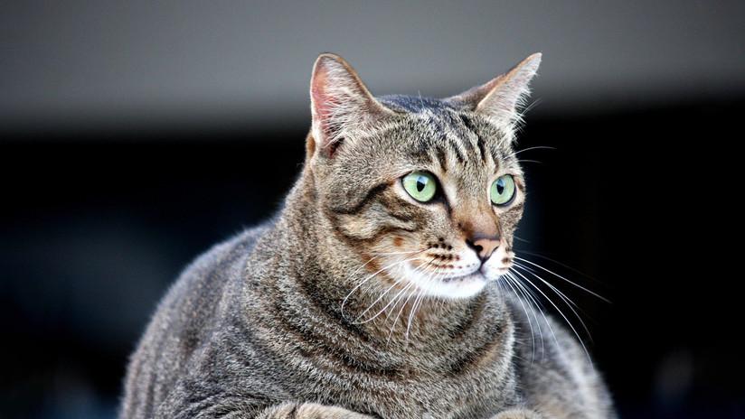 """""""Dos kilos de gato no son un crimen"""": la gorda mascota que engañó a una aerolínea rusa se convierte en estrella en la Red"""