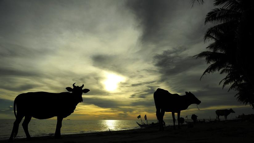 Hallan sanas y salvas en una isla a tres vacas que fueron arrastradas por el huracán Dorian